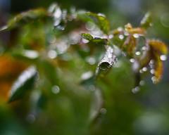 243/365 *Explored* (**R**(Ruth) slowly returning!) Tags: green leaves bokeh 365 sprinkleraftermath