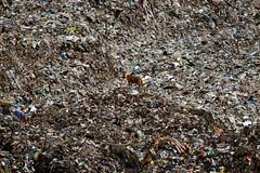 Αδέσποτος στη μέση του πουθενά, σε μια χωματερή της Ινδίας (AP Photo/Aijaz Rahi)