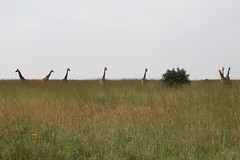 IMG_4265 (Jarod Burns) Tags: africa nationalpark day cloudy kenya wildlife nairobi safari giraffe nairobinationalpark