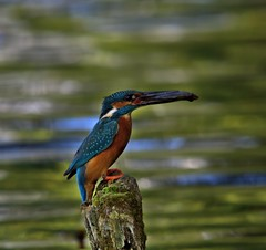 Kingfisher at Lymm Dam (Chris Beesley) Tags: bird nature fishing cheshire kingfisher alcedoatthis lymmdam