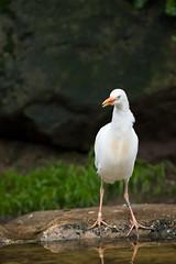 cattle egret (Cloudtail the Snow Leopard) Tags: bird animal zoo cattle ibis egret tiergarten tier vogel nurnberg nrnberg reiher bubulcus kuhreiher