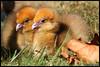 Crested screamer (Chauna torquata) (Xavi BF) Tags: zoo aves chick southern xavier crested screamer anseriformes crestedscreamer chauna chaunatorquata southernscreamer torquata bayod chajá zoobarcelona farré anhimidae txajà emplomallat canoneos60d tschaja halsbandwehrvogel örvös tamron70300vcusd xavierbayod zoològicdebarcelona xavierbayodfarré txajàemplomallat csája