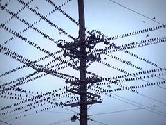 Birds on Cables (Haider Nakkash) Tags: summer birds nashville cables gather 2014 haidernakkash