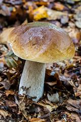 ? Brown Birch Bolete Mushroom (Leccinum scabrum) (BiteYourBum.Com Photography) Tags: uk blue england brown mushroom westsussex unitedkingdom birch canonef1740mmf4lusm brooks bolete ipad rspb leccinumscabrum pulborough canonefs60mmf28macrousm biteyourbum canoneos7d appleipad rspbpulboroughbrooks dawnandjim canonspeedlite430exii sigma50500mmf4563dgoshsm loweproprorunner350aw biteyourbumcom camranger brownbirchboletemushroom