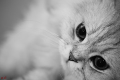 20140912-Em5-45-P9120067 (Eternal-Ray) Tags: leica cat olympus panasonic chinchilla asph f28 45mm dg  omd em5 macroelmarit