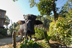 Namobuddha cow (Pandster1981) Tags: a77 cow honeymoon namhobuddha nepal sigma1020mmf35exdchsm sonya77