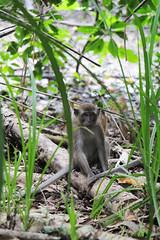 IMG_0405 (trevor.patt) Tags: palauubin singapore macaque monkey