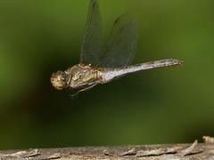 Sympetrum striolatum Gr. Heidelibelle 160925-0014 _Wuhle_SOOCx_ (Pixel-Cat) Tags: sympetrum heidlibelle darter dragonfly libelle groslibelle anisoptera odonata insect insekt macro makro wuhletal hellersdorf marzahn berlin olympus omd em5 sooc mzuiko75300mmf4867ii