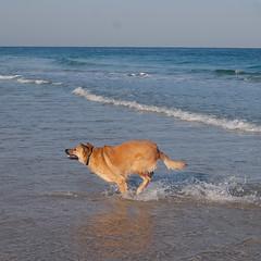 IMGP3328 (jamin.sandler) Tags: pentaxistds palmachimbeach smcpentaxm2435mm dog