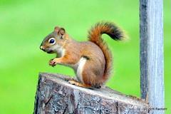 DSC_0049 (rachidH) Tags: squirrel ecureuil americanredsquirrel tamiasciurushudsonicus cureuilroux rachidh nj sparta nature