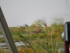 Ockavango Delta, Botswana - Sept 2016 (Keith.William.Rapley) Tags: ockavango ockavangodelta delta september2016 botswana rapley keithwilliamrapley papyrus