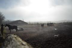 Foggy Horses