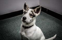 Luna (Nerdgirl1993) Tags: animal dog pet husky puppy shelter rescue rights eyes cute chien
