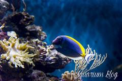 Acanthurus leucosternon (AquariumBlog.es) Tags: acuario aquarium peces fish pez marino saltwater water freshwater dulce agua corales payaso clown sepia acantharus pterois pomacanthus barcelona arrecife reef