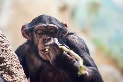 Schimpanse (grasso.gino) Tags: tiere animals natur nature zoo bremerhaven zooammeer nikon d5200 affe monkey schimpanse chimpanzee