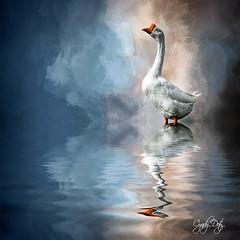 Standing Tall (cd32919) Tags: swan bird avian textured background
