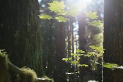 Big Bottom (Tony Pulokas) Tags: bigbottom oregon forest oldgrowth tree maple vinemaple leaf autumn fall clackamaswilderness moss tilt blur bokeh douglasfir flare lensflare lichen sphaerophorus