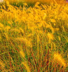 Glowing Grasses (Catskills Photography) Tags: hbw bokeh grass yellow capemay canon24mmf28stmlens
