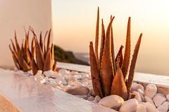 Agaves at the sunset (robertofaccenda.it) Tags: beach ciclades cicladi grecia greece holydays imerovigli mar mare playa praia santorini sea spiaggia sunset tramonto vacanze vacation