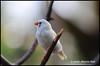 Finch? - Bloedel Conservatory N18174e (Harris Hui (in search of light)) Tags: harrishui nikond300 nikonuser nikon d300 vancouver richmond bc canada vancouverdslrshooter sigma70200mmf28 bird birdphotography finch bloedelconservatory queenelizabethpark bokeh depthoffield whitezebrafinch zebrafinch