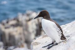 Guillemot D75_4897.jpg (Mobile Lynn) Tags: birds guillemot nature wild bird fauna wildlife farneislands northumberland england gb