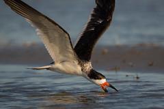 Plowing The Sea (gseloff) Tags: blackskimmer bird bif feeding surf wildlife bolivarflatsshorebirdsanctuary houstonaudubonsociety galvestoncounty texas gseloff