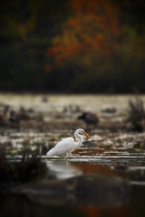 Fall  !!! (Photography by Ramin) Tags: fall autumn beauty beautyoffeather egret reflection reflction red leaves ontario ottawa canadian canada nature ngc water mud lake