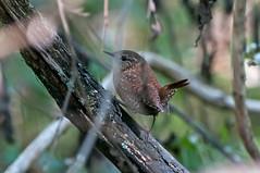 Winter Wren (martytdx) Tags: nj palmyra palmyracove palmyracovenaturepark birding birds migrationfall2016 songbird wren winterwren troglodytes troglodytestroglodytes troglodytidae