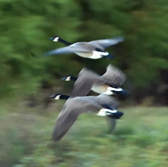 BAD BIRD PHOTO 2 (k.nanney) Tags: canadagoose brantacanadensis canadiangoose geese wildgeese waterfowl birds texasbirds texaswildlife villagecreekdryingbeds arlington texas tx tarrantcounty nikon d500 nikkor300mm afsnikkor300mmf4difed tc14eii kennethnanney kennanney nanney