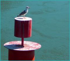 Haute perche (stephphoto8184) Tags: beaucaire eau mouette oiseau perche haute seule