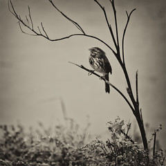 Song Sparrow at Boundary Bay in the Rain 4 (LongInt57) Tags: song sparrow bird songbird tree branch weeds wildflowers water ocean pacific boundarybay bw monochrome black white grey gray nature wildlife delta bc canada vancouver