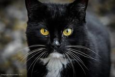 Neighbour's Cat (Baljinder.Gill) Tags: blackcat cat animalphotography animals animalsupclose outdoorphotography pet pets petphotography cats catseyes yelloweyes closeup closeupphotography