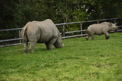 Chester Zoo (347) (rs1979) Tags: chesterzoo zoo chester blackrhino rhino
