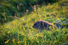 marmot (Um Berto) Tags: murmeltier marmot alpen nature