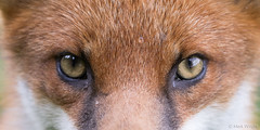 Watching (markwright12002) Tags: 2016 dorset fox middlebere october