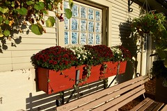 Red mums in red box (krys.mcmeekin) Tags: outdoor flower boxes garden mums red white plants nikond750