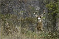 the king (Christian Hunold) Tags: maturebuck whitetaileddeer whitetailedbuck whitetail deer buck weisswedelhirsch valleyforge pennsylvania christianhunold