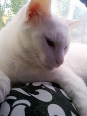 2014- Luna 02 (teresamarkos) Tags: luna cat cats kitten kittens felines feline