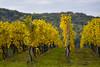 Vignes d'automne (Excalibur67) Tags: nikon d750 sigma apo70200f28exdgoshsm paysage landscape automne alsace autumn vosgesdunord vignoble jaune yellow vigne