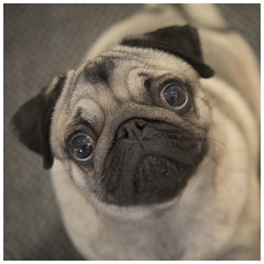 Love that face! (theimagebusiness) Tags: theimagebusiness theimagebusinesscouk portrait photographersinwestlothian photographers dog pug canine eyes expression cute face squishedface bigeyes petphotography adorable sweet funny