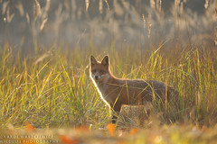 Red fox in autumnal late afternoon light. (Karl Wild) Tags: fox light autumn red mammals wild nikon d3 200500vr mazury