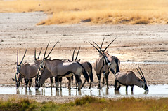 Horn&Horn Brothers (Jose Antonio Pascoalinho) Tags: africa namibia etosha gemsbok animals wilderness wildlife nature nationalpark nat life biodiversity biosphere safariphotography safari savannah ecosystem ecosphere waterhole mammal antelope outdoor plain travel travelphotography zedith