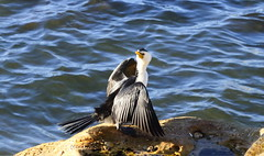 Drying out (geemuses) Tags: littlepiedcormorant cormorant sydneyharbour manly manlycove seabird shag nsw australia bird animal outdoor