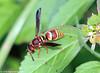 Potter Wasp View 1 (Kaptured by Kala) Tags: euodyneruspratensis potterwasp wasp bug insect whiterocklake dallastexas walkingpath spillway walkingpathabovethelowerspillway closeup