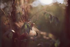 Lazy sunlight (Balthasar Phragmites) Tags: dof bokeh sunset spider web fall autumn leaves twigs forest wood trees takumar agfa praktica vlc3 50mm f14 precisa ct 100 35mm 35mmphotohraphy 35mmphotographer 35mmcamera 35mmfilm analog analogphotography analogcamera analogphotohrapher noise grain film filmphotography issf istillshootonfilm issfcommunity filmisnotdead celluloid