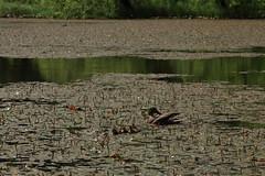 Sástó (bencze82) Tags: sástó mátra magyarország hungary tavasz spring canon eos 700d voigtländer apolanthar 90mm f35 slii tó lake water természet nature