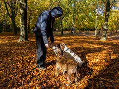 Treat time (Julia Livesey) Tags: autumn chris family jez max springerspaniel staffy virginiawater englefieldgreen england unitedkingdom gb