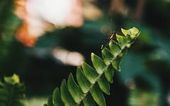 """""""Escarabajo"""" (yamircuevas) Tags: macro macrophotografy bokeh nature naturaleza natural hojas leaves helecho insectos insect insects bio pozaricadehidalgo pozarica veracruz méxico biodiversidad enfoque mariposa butterfly"""