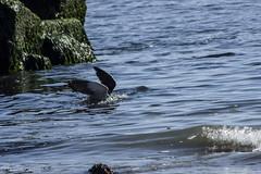 Gaviota pescando (franColors) Tags: aire libre outdoor coquimbo guayacan gaviota mar agua seagull chile