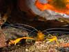 Mediterranean Cleaner Shrimp (altsaint) Tags: 45mm gf1 panasonic sardinia crustacean macro mediterranean mediterraneancleanershrimp scuba underwater